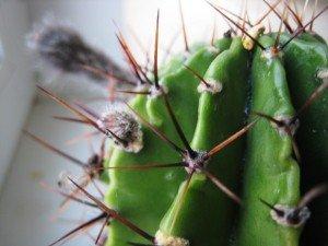 cactus7