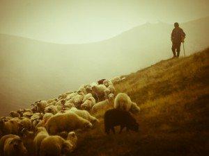 чабан пасёт овец